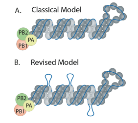 New model of influenza viral RNA genome structure